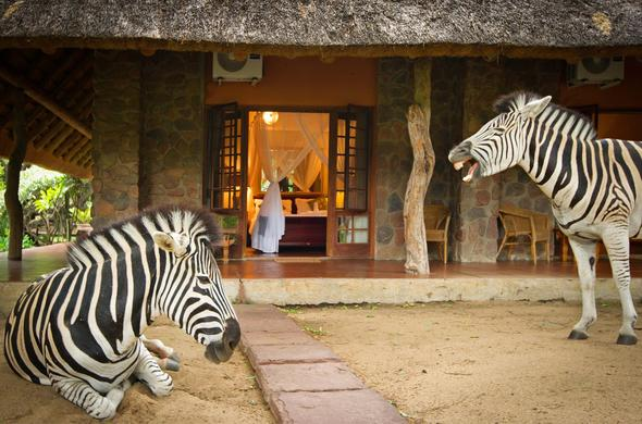 Zebras on the porch of Blyde River Canyon Lodge.