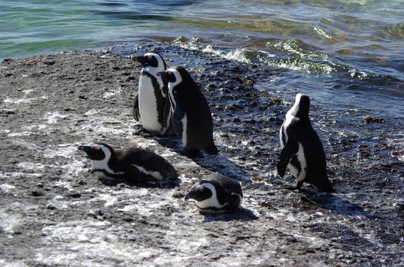 A view of penguins on boulders beach.