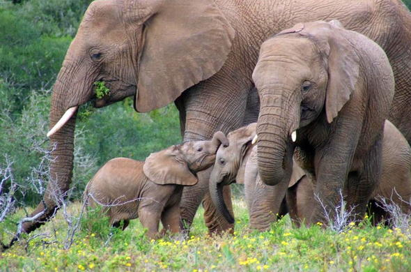 Elephant family of Amakhala Game Reserve.