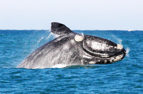 Southern Right Whale at De Hoop Nature Reserve.