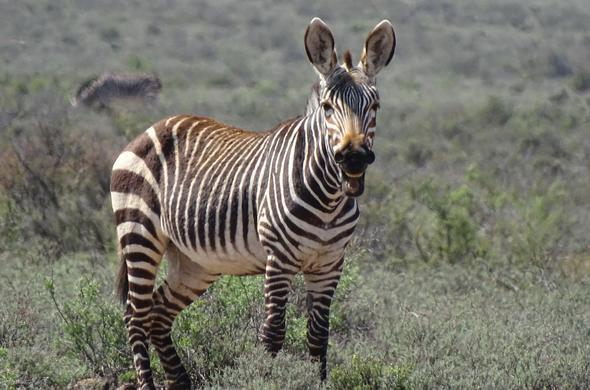 Smiling Zebra in Karoo National Park.