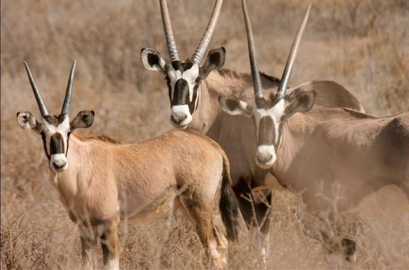 Wildlife found in the Kgalagadi Kalahari.