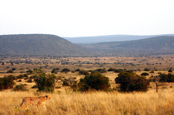 A cheetah roaming on the Kwandwe Private Game Reserve open plains.
