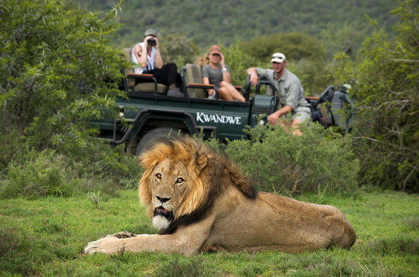 Lion sighting on a game drive.