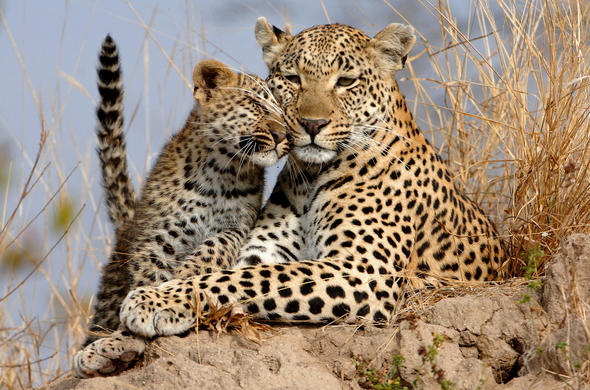 Leopard with cub in Kruger National Park.