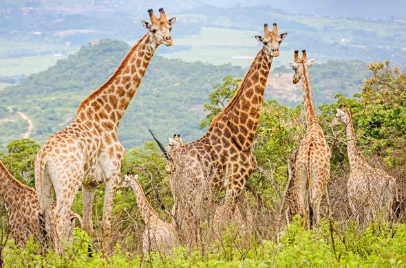 Giraffes of Likweti Sanctuary.
