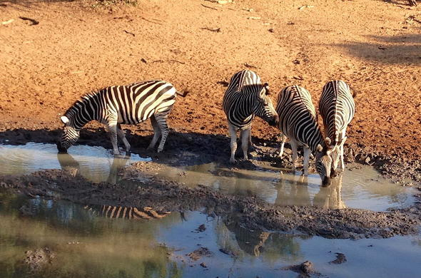 Zebra in uMkhuze Game Reserve.