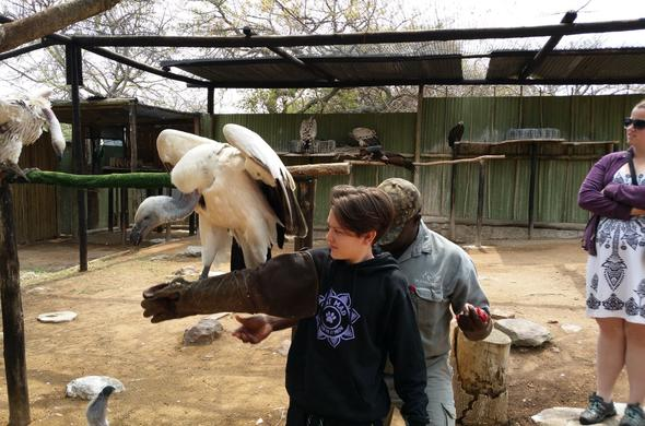 Guest interacting with vultures at at the Moholoholo Wildlife Rehabilitation Centre.