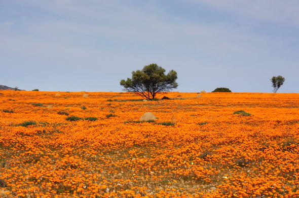 Flowers in bloom in Namaqua National Park.