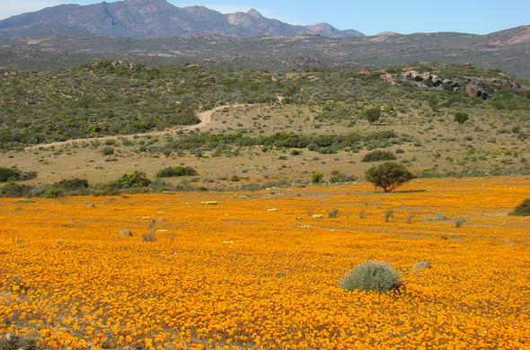 Namaqua National Park flowers.