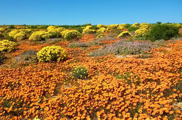 South Africa Information Namaqualand Flower Route