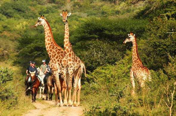 Giraffe sighting on a horse riding safari in Pakamisa Private Game Reserve.