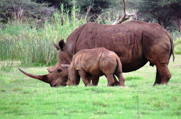 Rhino and calf sighting in Pongola Game Reserve.