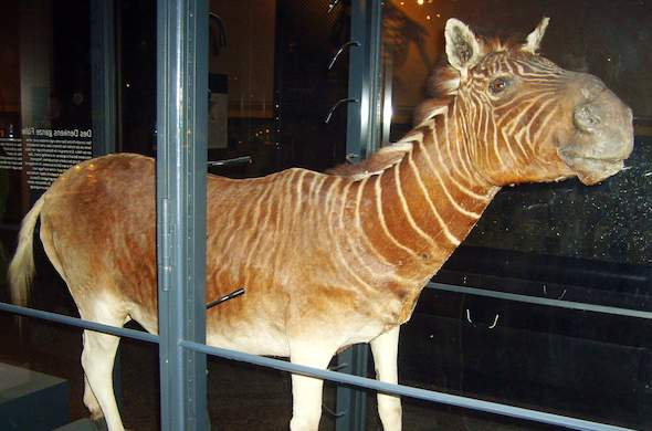 A view of the original quagga before extinction as displayed in a Berlin museum.