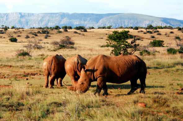 Catch a glimpse of Rhinos in the Karoo.