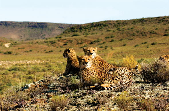 Cheetahs in Sanbona Wildlife Reserve.