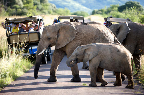 Elephants in Pilanesberg National Park.