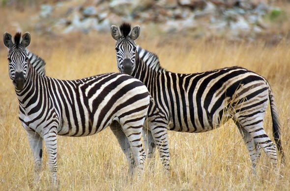 Zebra in South Africa.