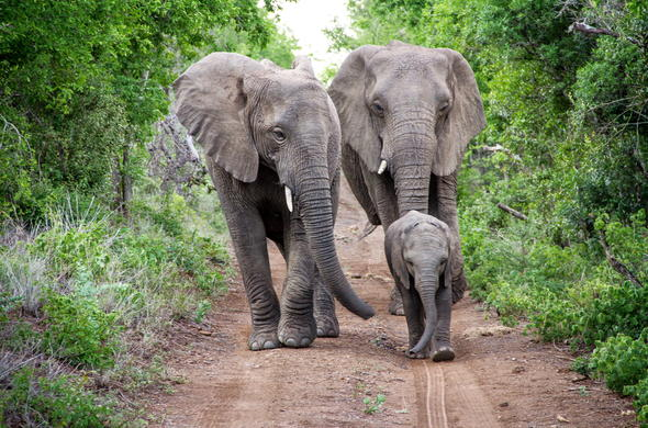 Elephants roaming around Thula Thula Private Game Reserve.