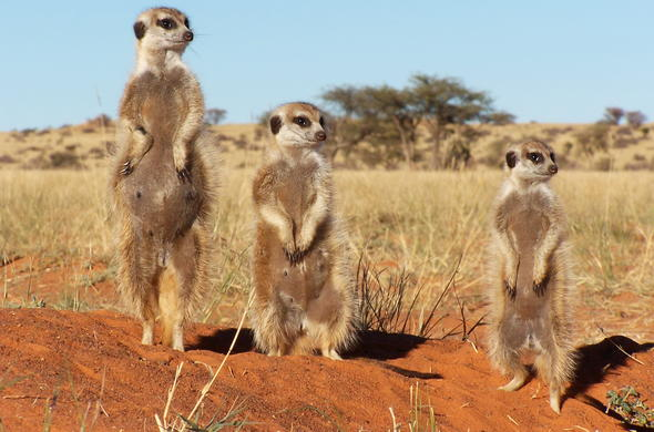 Adorable meerkat sightings in Tswalu Kalahari Reserve.