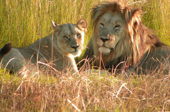 Lions in Welgevonden Private Game Reserve.