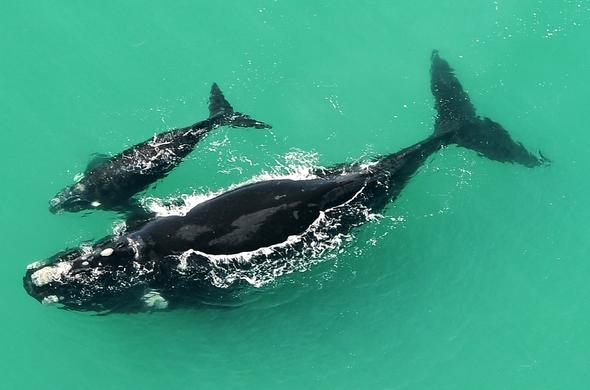 Whales at De Hoop Nature Reserve in the Western Cape.