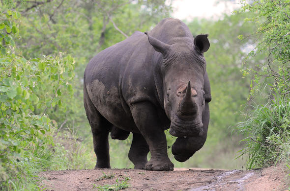 Rhino are found in Hluhluwe-Imfolozi Game Reserve.