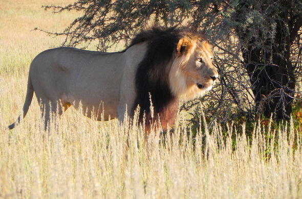 Male lion spotted in Kgalagadi Transfrontier Park.